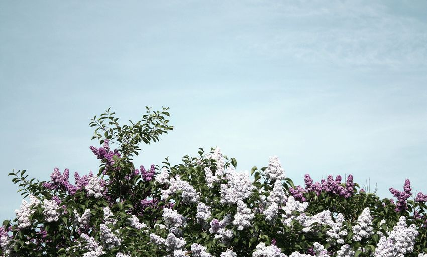 Summer.. I'm waiting for you! Home Is Where The Art Is Summer Summertime Nature Nature_collection Flowers Lilac Sky Simplicity Minimalism Minimalobsession Outdoors Fine Art Photography Taking Photos Shootermag EyeEm Best Shots