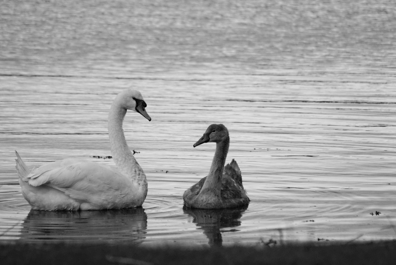 water, bird, group of animals, animals in the wild, vertebrate, animal, animal themes, animal wildlife, lake, waterfront, two animals, swimming, no people, water bird, reflection, day, nature, beauty in nature, poultry, animal family