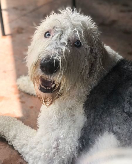 Summer water fun Old English Sheepdogs One Animal Animal Themes Domestic Domestic Animals Mammal Animal Pets Dog Animal Hair Canine Vertebrate Portrait Close-up Focus On Foreground Hair No People Looking At Camera Day Looking Animal Head