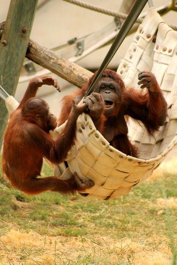 Moment de jeux et de complicité ^^ Animal Photography Singe Canonphotography Animal Portrait Zoo De Beauval Captured Moment Canon Love Photo 🐵🐒📷