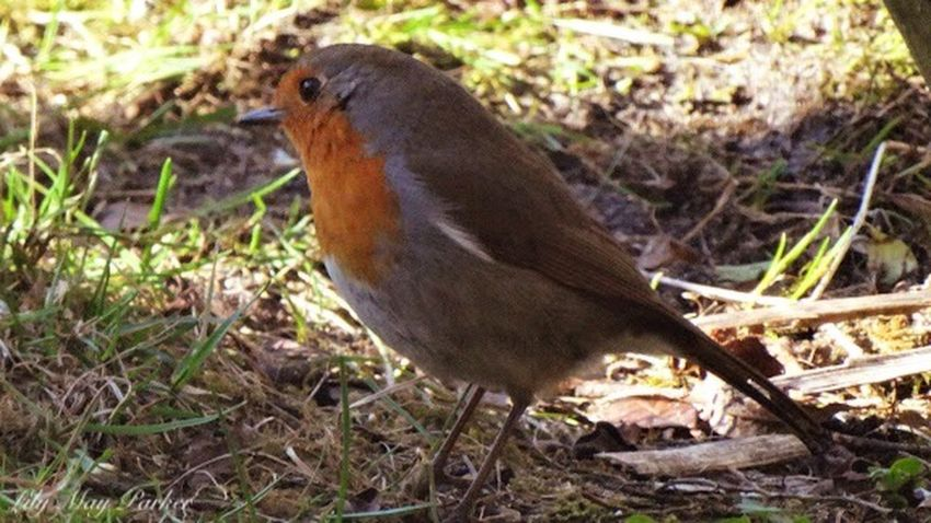 Red Robin Robin Bird Check This Out That's Me Hanging Out For Once Curiosity Lily Lily May Parker Belgium Taking Photos From My Point Of View Beautiful Nature Eyem Nature Lover EyeEm Gallery Beautiful Birds Animal Themes Cute Tranquility