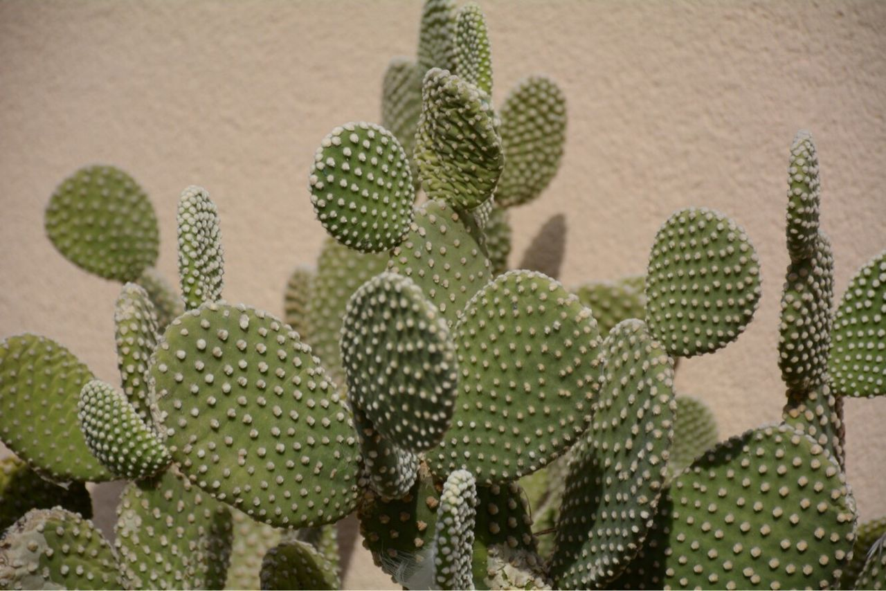 cactus, growth, thorn, green color, nature