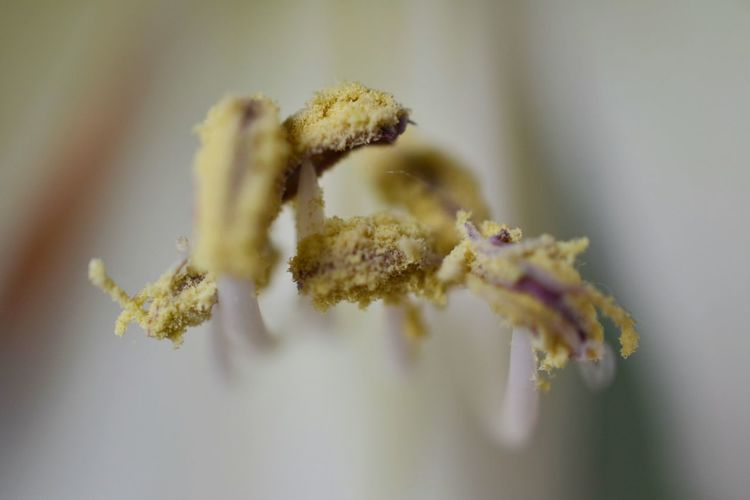 Extreme close-up of pollen