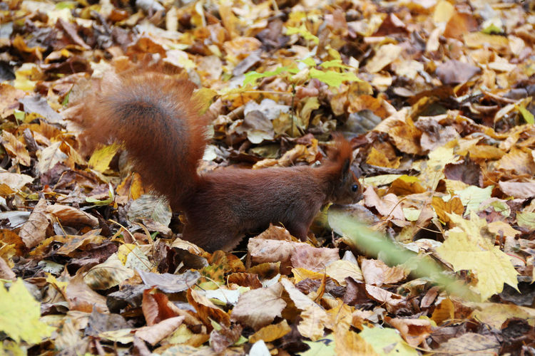 Close-Up Of Squirrel On Leaves Covered Field