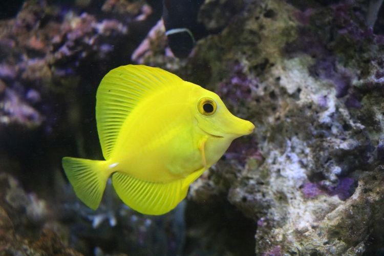 Fish Yellowtang Bubbles Fishtank Canon 750d Fishphotography