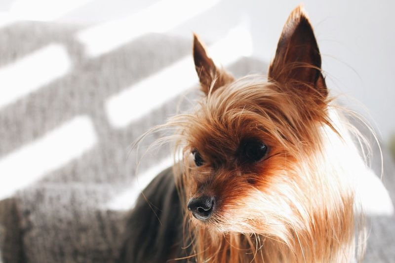 Mammal Pets Domestic Animal Themes One Animal Animal Domestic Animals Dog Canine Animal Hair Yorkshire Terrier Looking