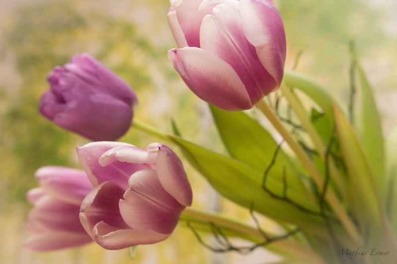 Tulpen Tulpen Blumen Flowers Weltfrauentag