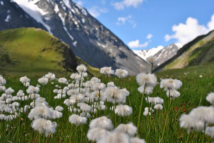 White flowering plants on field against mountains