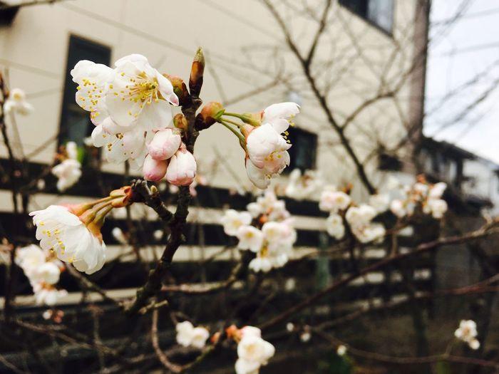 春 花 さくらんぼの木 開花 もうすぐ春🌸🌸 First Eyeem Photo