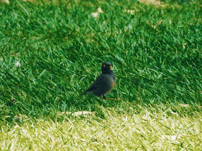 Bird Bird Photography Bird Watching Birds Birds In Flight Birds Of EyeEm  Birds_collection Birdsofinstagram Birdwatching Day Myna Nature No People No People, Outdoors Wildlife Wildlife & Nature