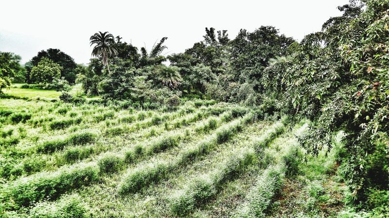 Mobile Shot Farmland DayGrowth Beauty In Nature Tree Agriculture Freshness No People Grass Nature No Pollution Outdoors Green Color