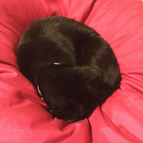 Cat Sleeping Cat Pink Pillow Cozy Comfort Feline Black Cat Curled In A Ball Curled Up Soft Kitty