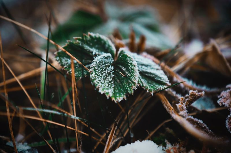 Snow Weed Garden Plants Garden Flowers,Plants & Garden Beauty In Nature Beautiful Nature Beautiful Icy Flower Icy Plant Nature Growth Green Color Close-up Focus On Foreground Leaf No People Beauty In Nature Outdoors Winter Fragility Day Cold Temperature Snow Freshness