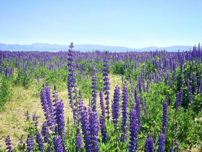 Abundance Beauty In Nature Blooming Blossom Day Field Flower Flowering Plant Fragility Freshness Growth In Bloom Lake Tahoe Lavender Lavender Colored Mountain Mountians Nature Plant Purple Scenics Springtime Sunny Tranquil Scene Tranquility