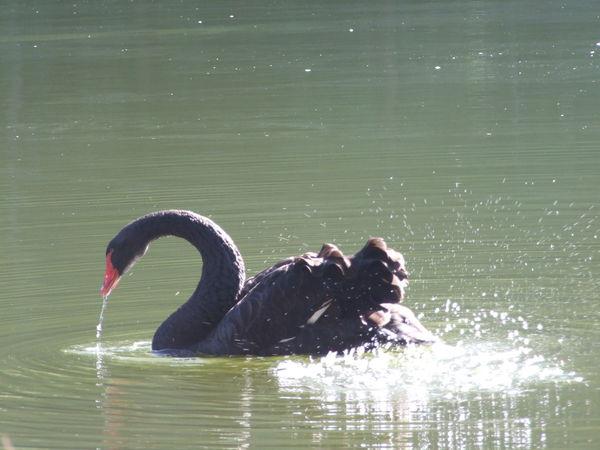 Swan at Lake Animal Themes Black Swan Lake No People One Animal Swan Swimming Water