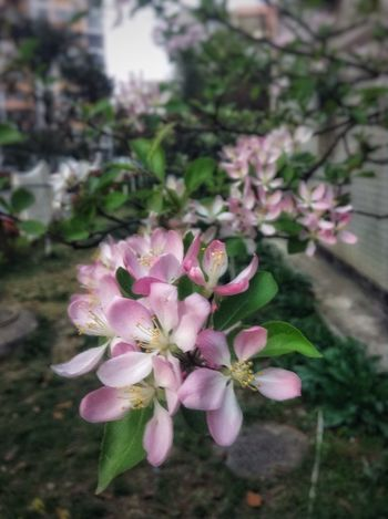 PhonePhotography Colors China Beauty EyeEm Malus Spectabilis Flowers Pink Flower Pink EyeEm Nature Lover Nature