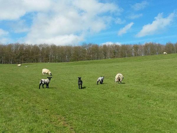 Cloud - Sky Domestic Animals Landscape Grass Sheep Beauty In Nature Lush - Description Outdoors Day Sky Springtime Blue Sky Nature