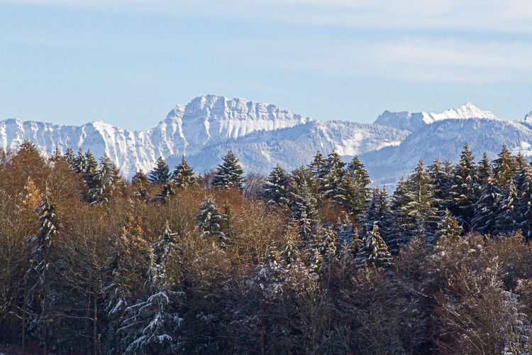 Pine trees on snowcapped swiss mountains against sky