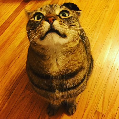 I know you have catnip in your pocket...😼 Domestic Cat Pets Domestic Animals One Animal Feline Mammal Animal Themes Looking At Camera Whisker Looking Up High Angle View Cat Portrait Indoors  No People Persian Cat  Close-up Day (null)Cat Lovers Funny Faces Derp Tabby Cat