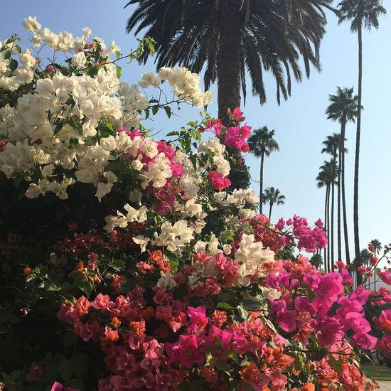 Beauty In Nature Flowers Glendale Glendale California Palm Trees Looking Up Pink Color In Bloom Outdoors Blooming Bunch Of Flowers Burbank Ca