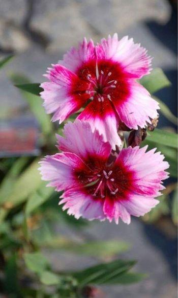 Diantha Flower