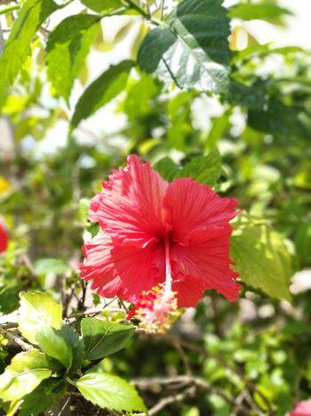 Hibiscus 🌺 Flower Bungaraya Kuantan Level5 HuaweiP9 Leica Lens