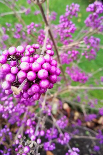 Flower Growth Purple Beauty In Nature Nature Plant Fragility Freshness No People Outdoors Day Petal Blooming Tree Close-up Lilac Flower Head