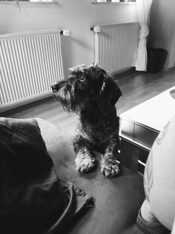 Bruno 💕 Dog Indoors  Home Interior Dackel