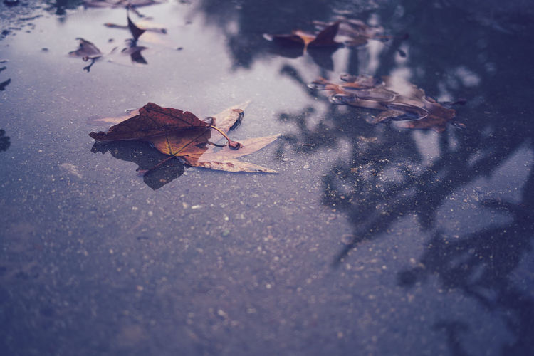 High angle view of maple leaf in water