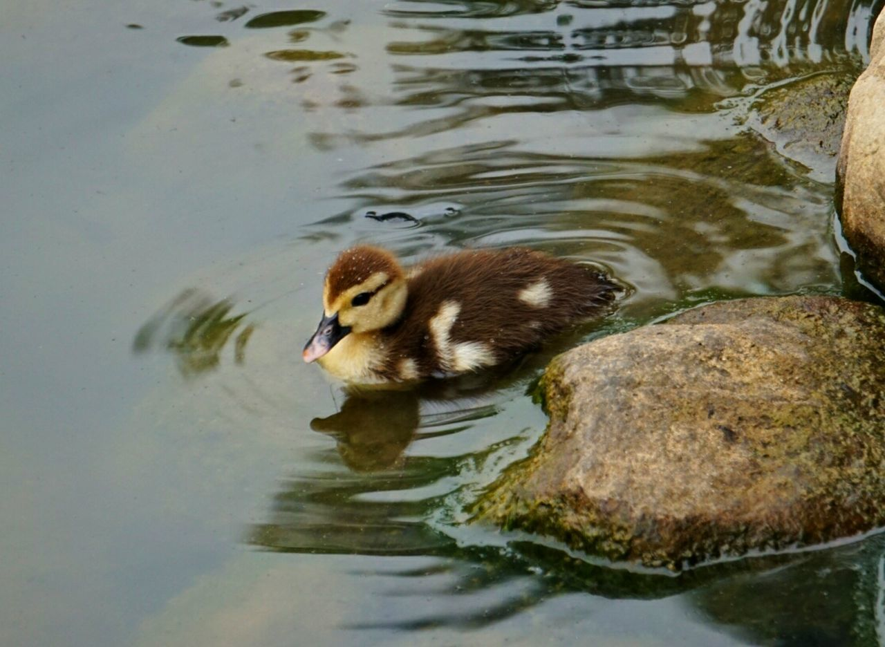 animal themes, water, animals in the wild, duck, lake, waterfront, one animal, swimming, reflection, bird, no people, animal wildlife, duckling, mandarin duck, young bird, nature, day, outdoors