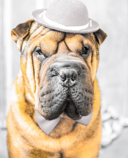 Dog dress Dog Shar-pei Sharpei Wrinkles Outfitoftheday Outfit Dogphoto Dogportrait Dog Portrait Hats Dogs Of EyeEm Dogs_of_instagram Elmo Chinese Dog  Portrait Photography Portrait Of Dog Dog Of The Day Fashion Model Hats Fashionlook Dogdays Stylish EyeEm Selects EyeEmNewHere Pets Portrait Dog Close-up Pet Clothing Pet Equipment