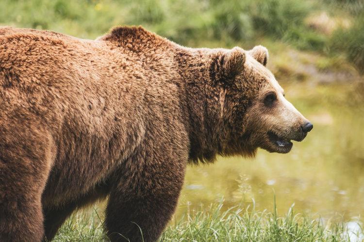Side view of bear on field