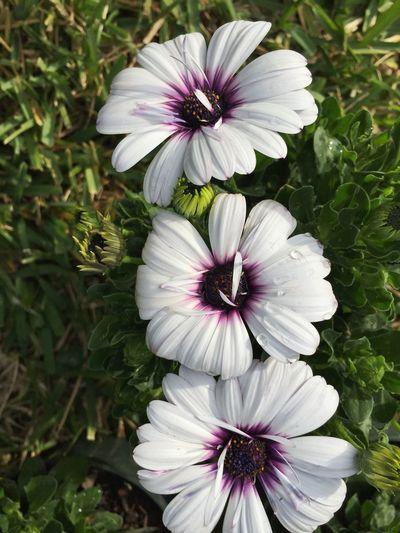 3 African daisies African Daisy Daisys White And Purple Daisy Flower Daisies Daisy