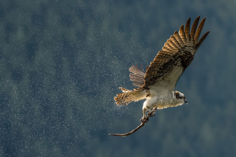 Osprey shaking off the water in the air Osprey  Bird Birds Birds Of EyeEm  Birds_collection Birds🐦⛅ Birds In Flight Animals In The Wild Animal Wildlife One Animal Animal Flying Motion Bird Of Prey Mid-air Outdoors Spread Wings Animal Themes Wildlife Wildlife & Nature Wildlife Photography Water Nature