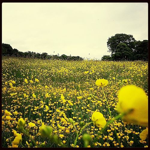 Among the golden buttercups, is where..... Summer Flowers Nature Rural Scenes