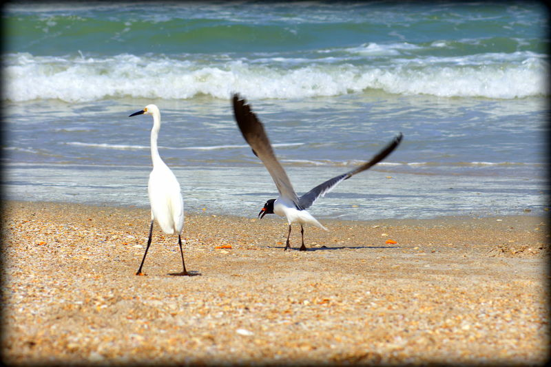 Beach Bird Fun Animal Themes Animal Wildlife Animals In The Wild Beach Beach Birds Playing Beauty In Nature Bird Day Daytona Beach Egret With Ocean Background Egrets On Beach Nature No People Outdoors Sea Spread Wings Water Wave