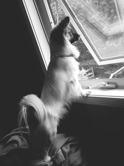 The Week On EyeEm EyEmNewHere Chewie He figured out he can look out the bedroom window. Dog Home Blackandwhite