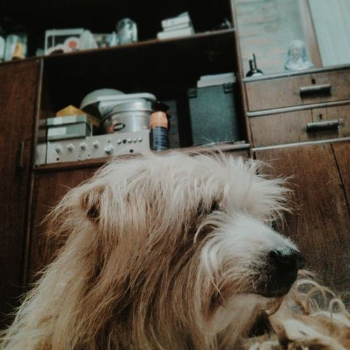 This kinda Bearded Collie. Cuteness of being tired and sleepy. Day14 Howyoufeeltoday 30dayphotochallenge Photoadayapril flat face pose homey lovely brown curly bearded collie doggy pet vsco vscocam vscopet