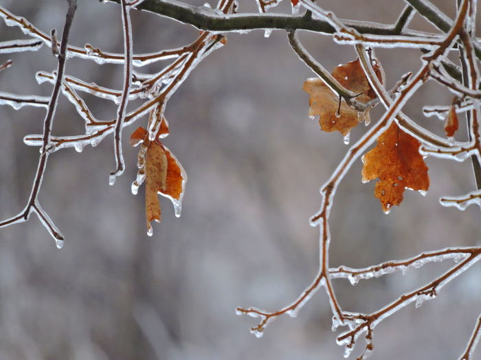 Ice Storm Focus On Foreground Branch Close-up Cold Temperature Tree Plant Winter Nature No People Autumn Change Snow Day Beauty In Nature Plant Part Ice Frozen Leaf Twig Outdoors Leaves Dead Plant