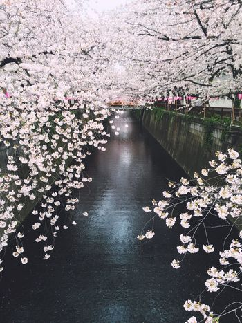 Cherry trees in full blossom. The Meguro River of Tokyo🌸