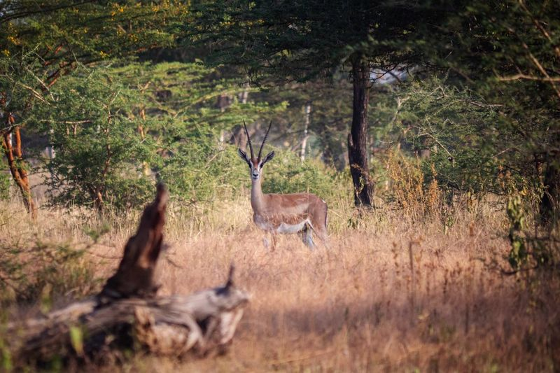 Nature_collection Nature Gazelles Gazelle Omo River Africa Ethiopian Photography 🇪🇹 Omo Valley African Ethiopian Ethiopia Plant Mammal Tree Animal Animal Themes Animal Wildlife Animals In The Wild Land Deer Field Group Of Animals Vertebrate Forest No People Day Antler Growth Grass Herbivorous