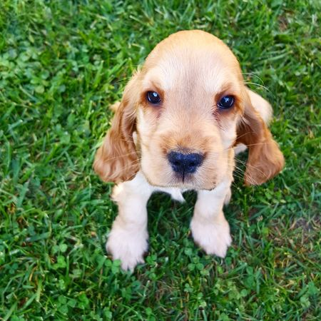 Dog Nature Animal Themes Cocker Cockerspaniel Cocker Spaniel Puppy Cocker_mania Looking At You Dogeyes Dogslife Grass Domestic Animals Looking At Camera Outdoors One Animal Portrait
