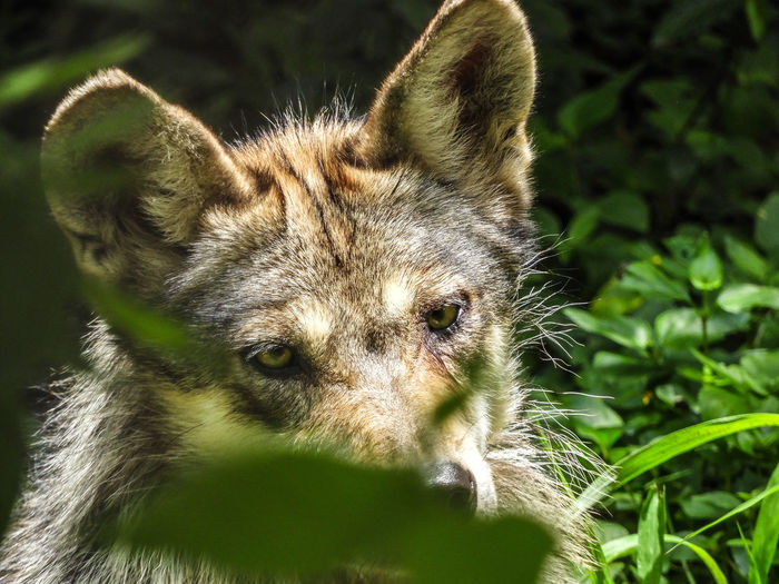 Close-Up Portrait Of Wolf In Forest