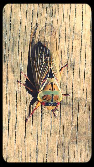 Sound of summer Sunbathing Cicada Summer Time  Cicadas