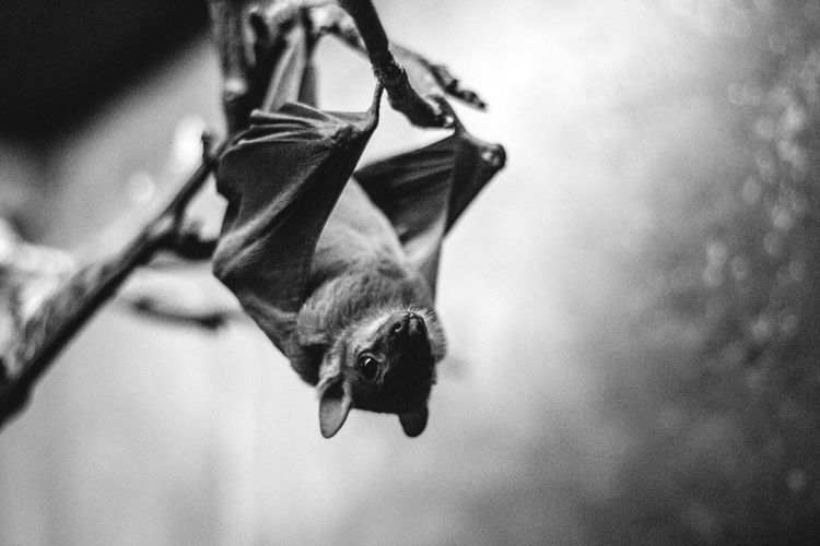 Light sleeper Close-up Bat Batman Nature Nature_collection Nature Photography Blackandwhite Black And White Blackandwhite Photography No People