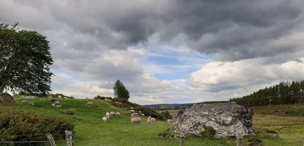 Panoramic view of sheep grazing on field against sky