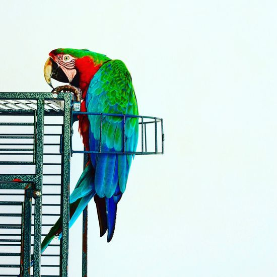 The Great Outdoors - 2017 EyeEm Awards Parrot Animal Themes Bird One Animal Copy Space Perching Macaw Clear Sky No People Cage Low Angle View Animals In The Wild Gold And Blue Macaw White Background Multi Colored Capri, Italy Papagan Trapped Pets Day Close-up Pet Portraits Creative Space