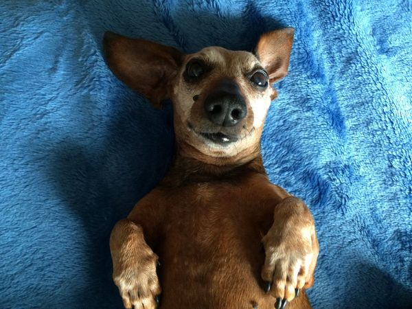 Dog Photography Dogs Of EyeEm Cute Love Senior Dog 14 Years Old Sausagedog Nap Time Dachshund Age Of Wisdom Dog Portrait Dog Pets Domestic Animals Portrait Blue High Angle View Indoors  Looking At Camera Relaxation Brown
