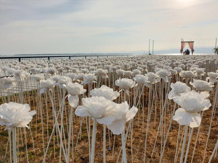 White flowering plants by sea against sky