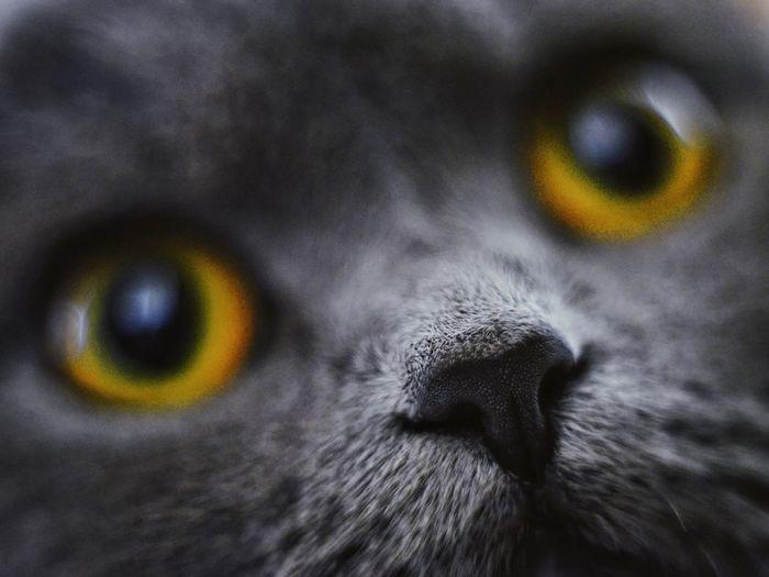 Pet Portraits Pet Kitten Cat Focus On Foreground One Animal Eyes British Cat Blurred